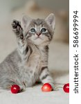 Stock photo kitten playing with cherries 586699994