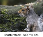 Grey Squirrel At Tehidy Country ...