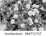 daisies background  in black... | Shutterstock . vector #586771727