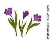 three violet crocus blooming... | Shutterstock .eps vector #586945391