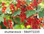 Red Currant Natural Conditions.