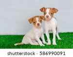 Stock photo beautiful cute puppy chihuahua on the grass 586990091
