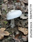 Small photo of Amanita vaginata, the grisette in the forest, Gray slim amanita mushroom