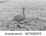 Mute Swan In Field B W