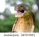 King Cobra  Ophiophagus Hannah...