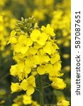 yellow canola rapeseed blooming ... | Shutterstock . vector #587087651