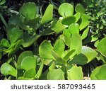 Kalanchoe Or Plakkie Succulent
