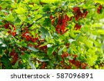 Bush Of Red Currant Berries