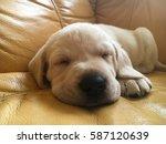 Cute White Labrador Puppy...