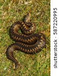 Small photo of Portrait of adult female adder in spring