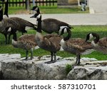 A Gaggle Of Canada Geese...