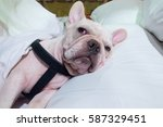 a dog sleep on the human bed ... | Shutterstock . vector #587329451