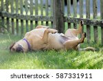 dog playing in grass | Shutterstock . vector #587331911