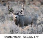 Mule Deer Big Buck Mule Deer
