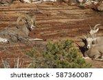 desert bighorn sheep adult male ...