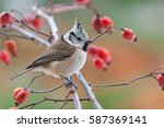Crested Tit  Perching On A Twig