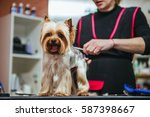 Stock photo grooming yorkshire terrier professional hairdresser hairdresser mows yorkshire terrier fur on the 587398667