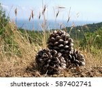 Large Pine Cones Under The...