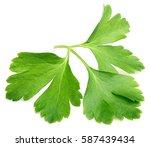 garden parsley herb  coriander  ... | Shutterstock . vector #587439434