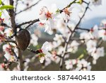 The Almond Tree Flowers With...