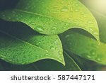 Green Leaf With Water Drops Fo...