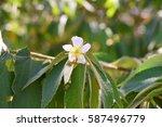 delicate calabura flower on... | Shutterstock . vector #587496779