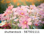 Pink Cosmos Flower Blooming In...