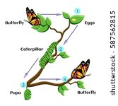 life cycle of butterfly  eggs ... | Shutterstock .eps vector #587562815