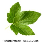 Currant Leaf Isolated On White...