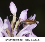 Small photo of Tobacco coloured longhorn beetle, Alosterna tabacicolor feeding on orchid.