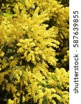 Small photo of Mimosa flowers background
