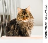 norwegian forest cat  long... | Shutterstock . vector #587696861