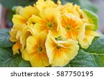 Colorful Primrose Flowers For...