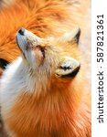 Close Up Of Beautiful Red Fox...