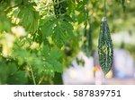 close up bitter gourd or bitter ... | Shutterstock . vector #587839751