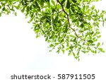 green leaf isolated on the... | Shutterstock . vector #587911505