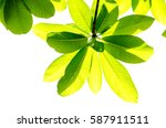 green leaf isolated on the... | Shutterstock . vector #587911511