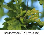 an acorn from an oak tree on... | Shutterstock . vector #587935454