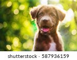 Stock photo portrait of brown cute happy labrador retriever puppy with sunset bokeh foliage abstract background 587936159