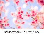 sakura flower or cherry... | Shutterstock . vector #587947427