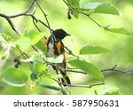 Small photo of American Redstart (male)