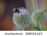 Bumblebee On Blue Thistle Flower