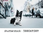 Border Collie Dog In The City