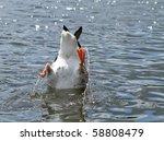 Goose Feeding In Lake Bottom Up