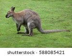 red necked wallaby  macropus... | Shutterstock . vector #588085421