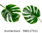 two tropical jungle monstera... | Shutterstock . vector #588117521