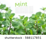 mint plant grow at vegetable... | Shutterstock . vector #588117851