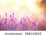 Stock photo lavender bushes closeup on sunset sunset gleam over purple flowers of lavender provence region of 588133835
