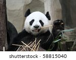 Feeding Time. Giant Panda...