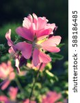 Small photo of Pink alcea hollyhock on a dark background close up